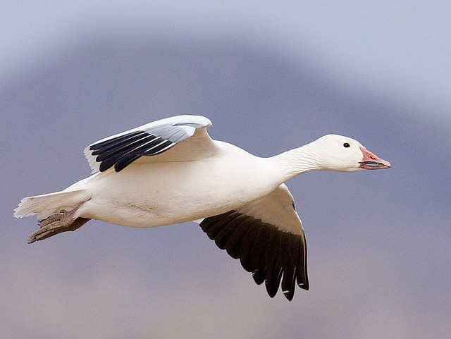 Snow goose - summer in arctic coasts, winter in US at lakes and coasts