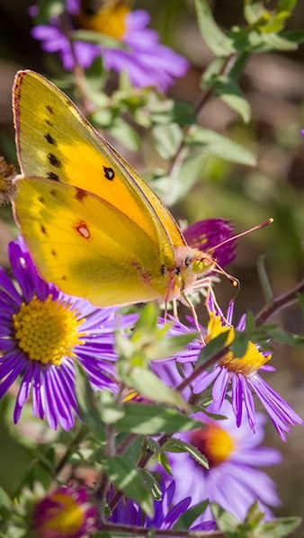Yellow Butterfly....love yellow and purple together