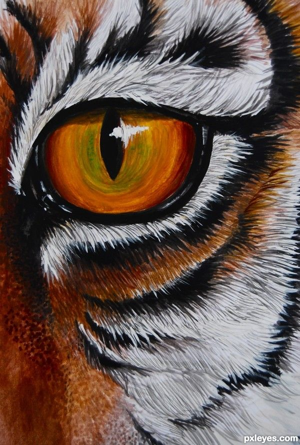 The Making Of Drawing Picture THe Eye Tiger For Tigers Td Contest Explained Step By