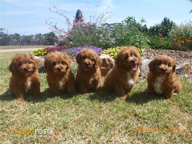 Cavoodle Puppies In 2020 Super Cute Puppies Puppy Dog Photos Cavoodle Dog