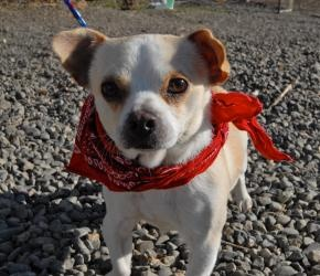TITUS is an adoptable Pug Dog in Woodland, CA. My name is Titius and I'm an adorable 2 year old old, neutered male pug / chihuahua mix. I've got the pug body but my face has more of the Chihuahua look...