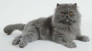 harga kucing persia,jenis,kucing persia medium,cara merawat kucing persia,perbedaan kucing anggora dan persia,untuk dijual,anak kucing persia murah,makanan kucing persia,