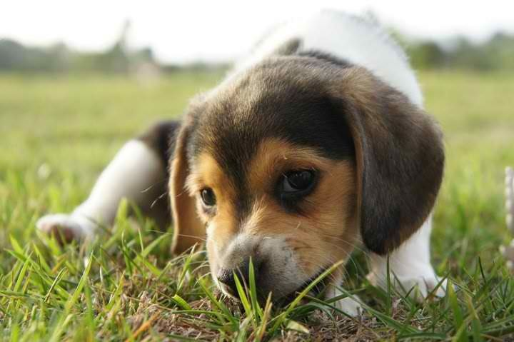 Having beagle puppies in a day. Getting super excited; so cute