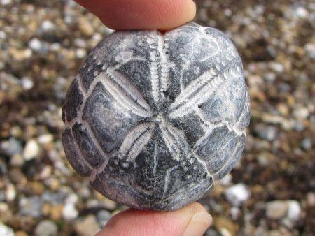Fossil Micraster echinoid at Littlehampton