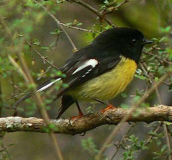 Bush Robin tomtit New Zealand. Photograph by Steve Reekie
