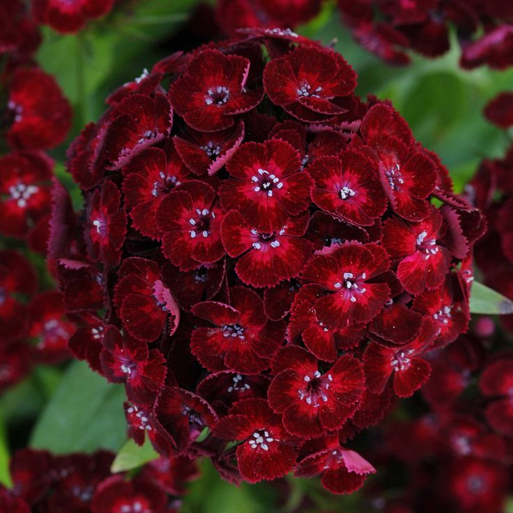 ~Dianthus 'Dash Crimson' (PanAmerican Seed)....'Dash' is a Sweet William-type dianthus that requires no vernalization for flowering. New 'Dash Crimson' expresses a bold, intense dark red and adds strong color to the series and excitement to cool-season gardens.