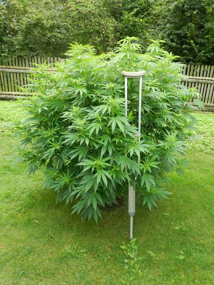 Jak symbolické. Co a jak konopí léčí se dočtete v našem článku na blogu https://www.semena-marihuany.cz/cs/blog/45-lekarska-marihuana-lecba-konopim