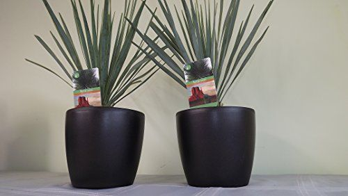Contemporary round planter pair with Big Bend Yucca's. Delivery in first week of December. House plant, office plant, hardy garden plants, tropical plant, spiky, tropical, Yucca Rostrata, Big bend yucca, Garden, housewarming gifts, potted plants, plants pots, office plants, pot plants, plants in pots. Christmas gift ideas, Mens Christmas gifts, Christmas gifts for dad, Christmas gifts for her, Christmas presents for her, Christmas gifts for mum, Christmas gifts for girlfriend, Christmas gift…
