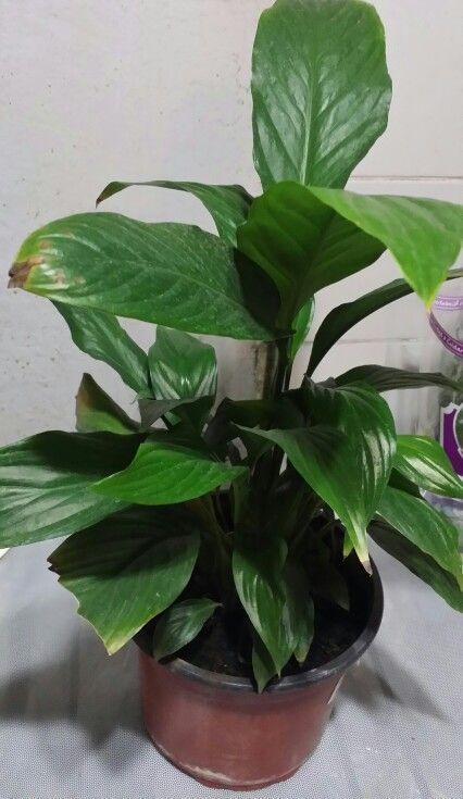 Spathiphyllum wallisii nombre com n espatifilo bandera - Plantas de interior nombres ...