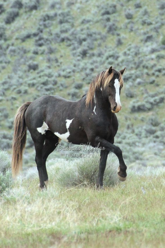 South Steens Wild Horses B106111