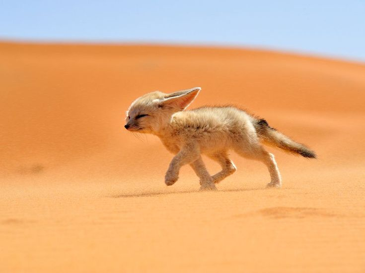 Fennec Fox | rare and absolutely adorable in Morocco - a small fox with large ears and a delicate face
