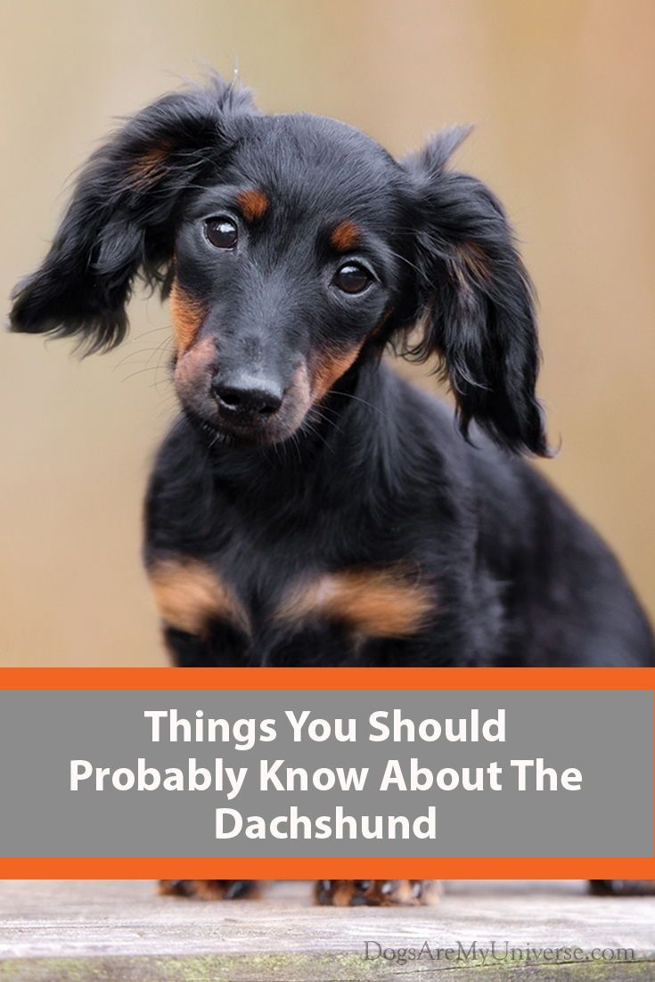 The Dachshund Breed Information Dog Breeds Medium Large Little