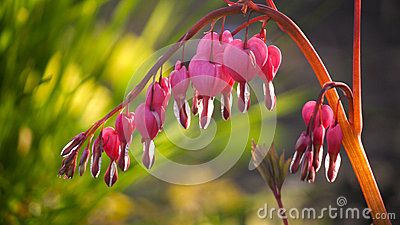 Photo of  Asian bleeding heart glowing in sunbeam with light green background.