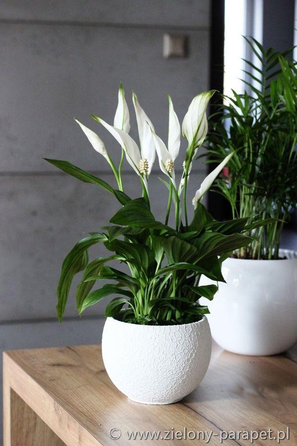 Skrzydlokwiat Najdluzej Kwitnaca Roslina Domowa Spathiphyllum Houseplants Plants