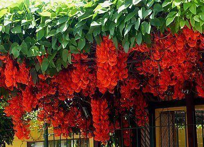 Nome Científico: Mucuna bennettii Nativa da Filipina, é planta de surpreendente beleza! Trepadeira vigorosa, perene, de ramos lenhosos que podem com facilidade alcançar mais de 10m de comprimento. As folhas verdes são abundantes e fornecem boa sombra. As flores surgem nos meses quentes através da formação de longas inflorescências axilares, apresentam o formato de garras invertidas, com brilho perolado e coloração vermelha alaranjada, atraindo beija-flores. Pode ser cultivada a meia sombra e…