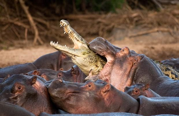A crocodile strays too close to a mother hippo and her calves among a group of 50 hippos bathing in the Serengeti national park, Tanzania. The crocodile was killed in the battle that ensued - hippos can apply several tons of pressure in a single bite.
