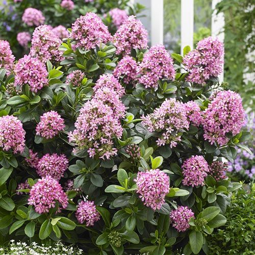 Pink Elle Escallonia – Shrubs | Spring Hill Nurseries