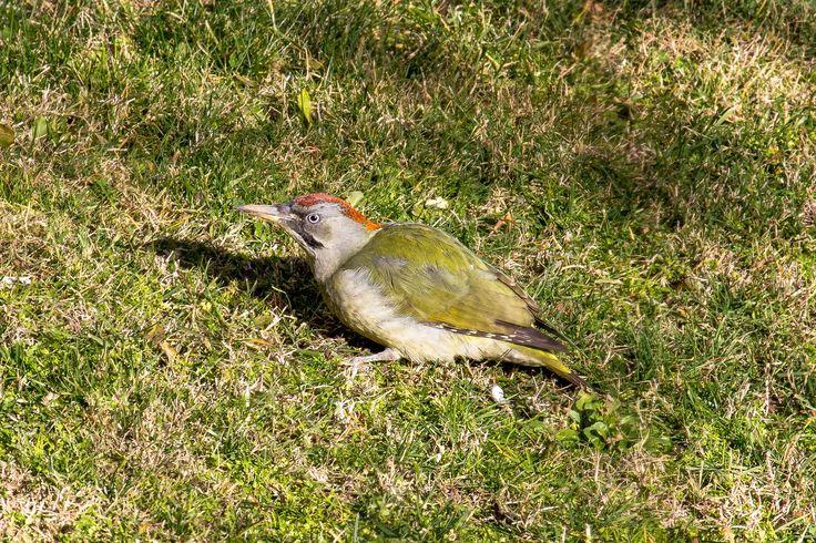 European green woodpecker -