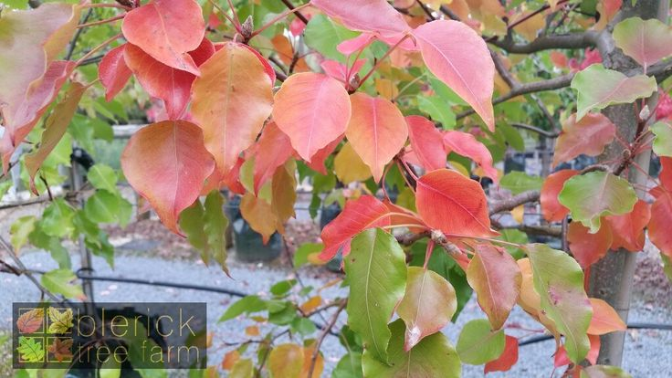Pyrus ussuriensis – Manchurian Pear – Purchase Bare Rooted Trees Online