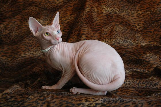 "Sphynx kittens for sale Sphynx cats for sale naked cats for sale naked cats, NADA Sphynx, Devon Rex, Lykoi, Cats sphynx, sphinx, esfinge, sphynx cats for sale, hairless cats for sale, sphynx kittens, sphynx breeders, sphynx for sale, sphynx kittens for sale, sphynx cat breeders, hairless cat breeders, hairless cat adoption, sphynx cat adoption, buy hairless cat, sphynx Florida, sphynx ontario, canadian sphynx, curly coated, werewolf, <meta name=""msvalidate.01""…"