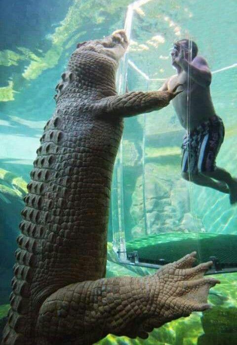 Cage of Death, Australian crocodile cage dive experience