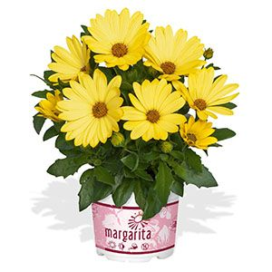 "Osteospermum ""Margarita Yellow"""
