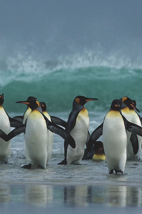 captvinvanity:    King Penguins   | Photographer | CV