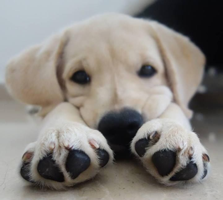 Oh I got big paws alright! Labrador