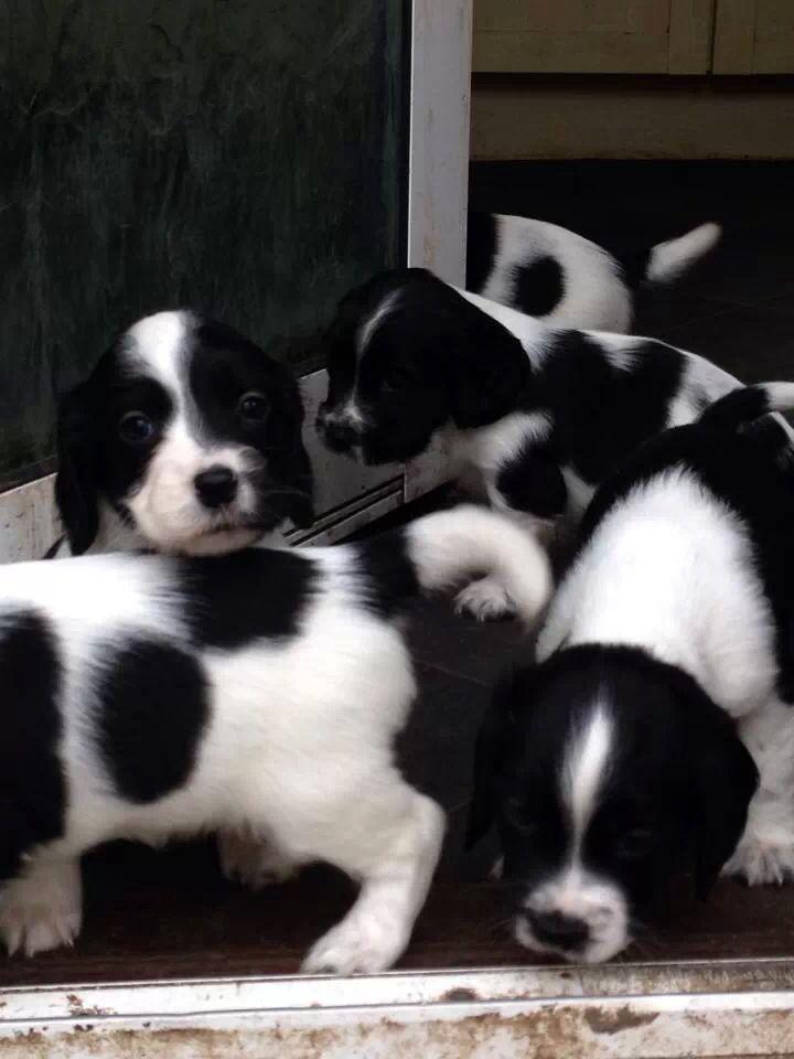 How cute! sprocker spaniel puppies