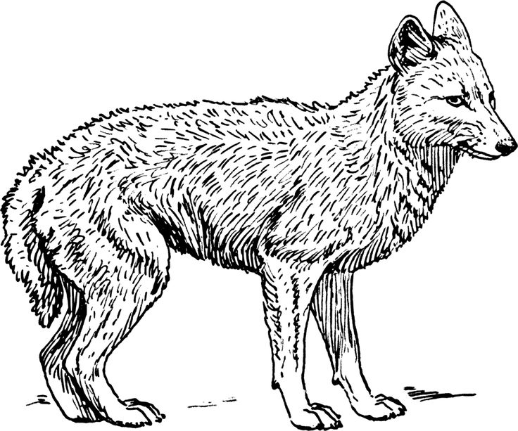 11 best Coyote Jackal Coloring Pages images on Pinterest