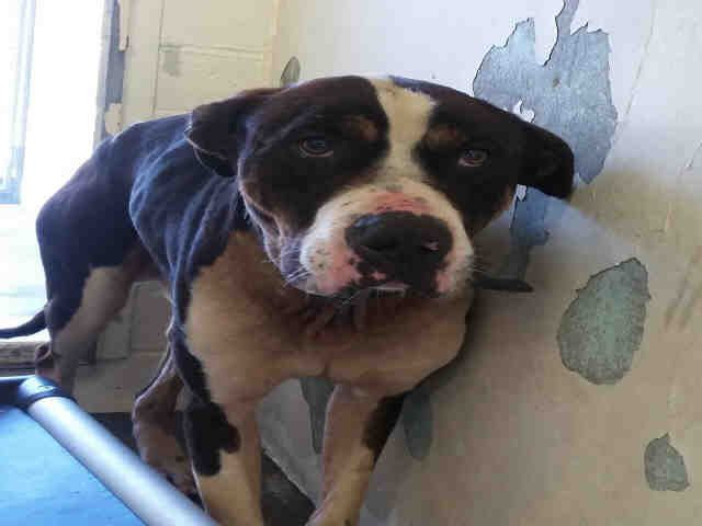 LP - ID#A5040599\r\n\r\nMy name is Lp and I am described as a male, black and white American Pit Bull Terrier\r\n\r\nThe shelter thinks I am about 8 years old.\r\n\r\nI have been at the shelter since Mar 13, 2017.\r\n\r\nFor more information about this animal, call:\r\nLos Angeles County Animal Control - Carson at (310) 523-9566\r\nAsk for information about animal ID number A5040599