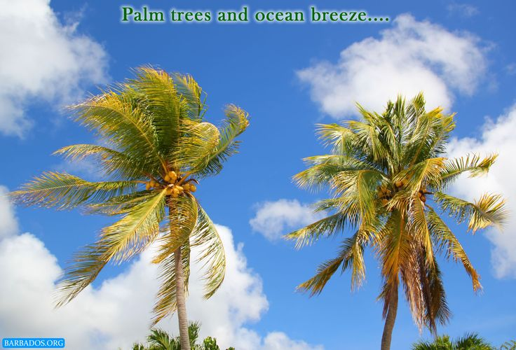 Palm trees and ocean breeze in Barbados