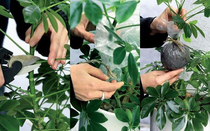 Šeflera: 7 krokov k novej rastline