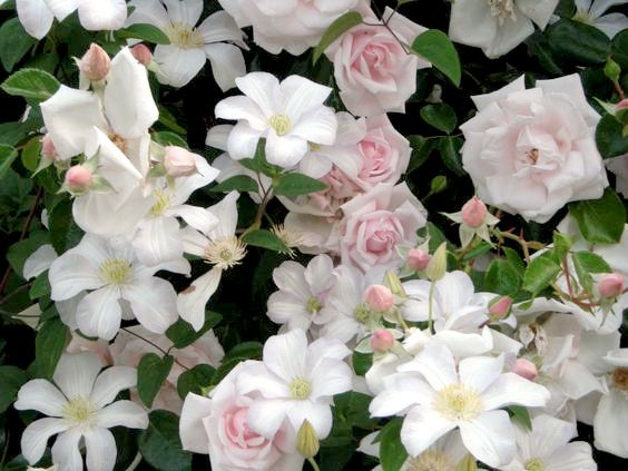 Rosen 'New Dawn' och klematisen 'Huldine'  New Dawn' och klematisen 'Huldine' (Sena Storblommiga-Gruppen). 'Huldine' är en starkväxande klematis, som kan bli upp till 6 m hög, och blomma hela sommaren. Zon 4. (Rosen 'New Dawn' beskrivs under första rubriken.)