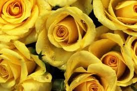 Some beautiful yellow roses.
