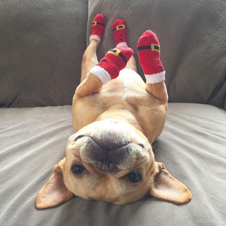 """""""Got Santa Boots on!"""" French Bulldog at Christmas❤️"""