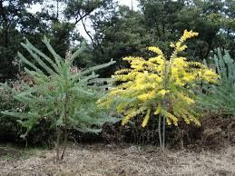 Acacia covenyi  in flower and not in flower