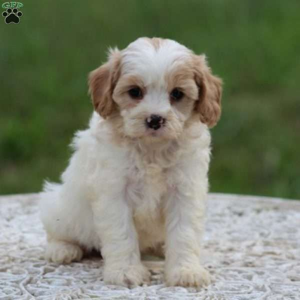 Melanie Cavachon Puppy For Sale In Virginia Cavachon Puppies Cavachon Puppies