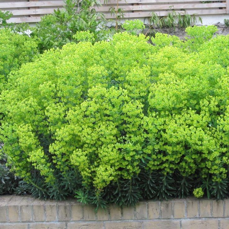 Euphorbia Amygdaloides... Euphorbia Amygdaloides Ruby Glow