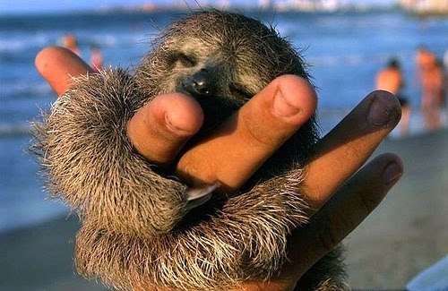 Baby Sloth!! <3: Baby Sloth, Sloths, Animals, Cuteness, Pet, Babysloth, Sloth Hug, Adorable, Things