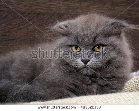 Portrait of a cute big cat with huge eyes. Grey Cat, Fluffy, Fold. The nose is black. It looks like an owl. Background wooden board