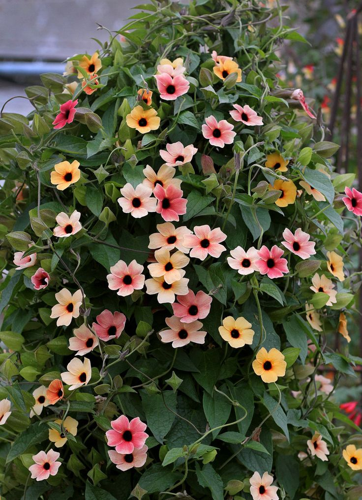 "flora-file: ""Thunbergia alata 'Spanish Eyes' twining (by anniesannuals) """