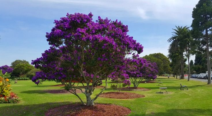 tibouchina alstonville - Google Search