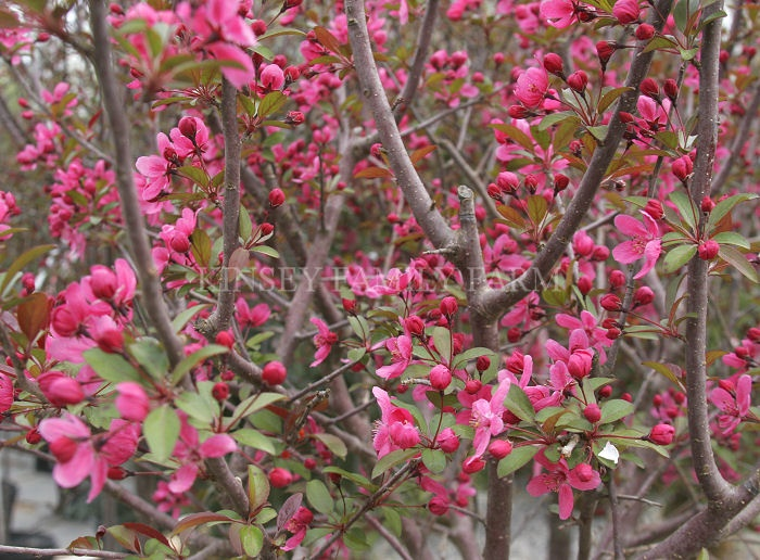 49 best trees flowering trees images on pinterest for Small flowering trees for front yard