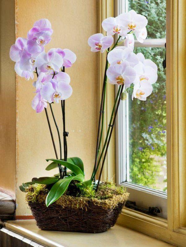 orchidées blanches et violettes en cache-pot couvert de sphaigne