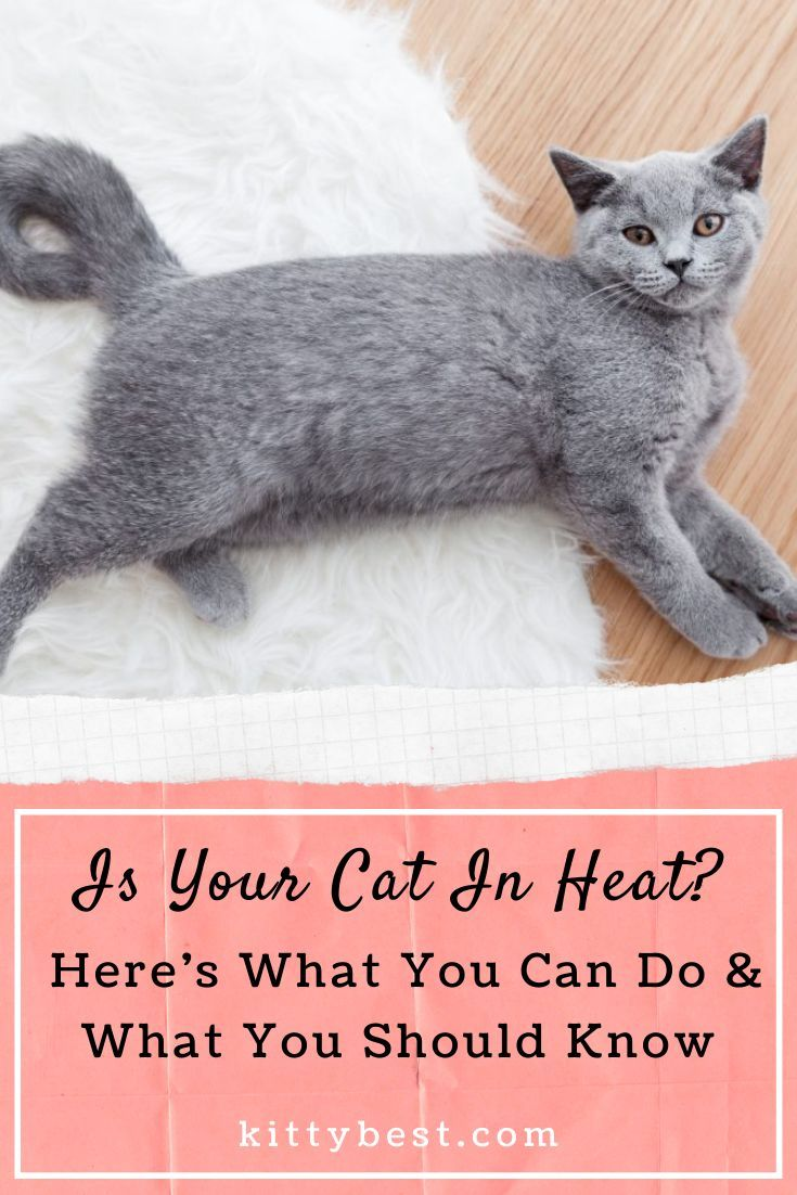 Is Your Cat In Heat Here S What You Can Do What You Should Know Cat In Heat Cats Cat Care