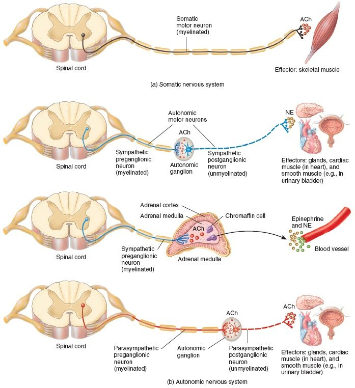 motor pathways nervous system | Motor Neuron Pathways in the Somatic and Autonomic Nervous Systems