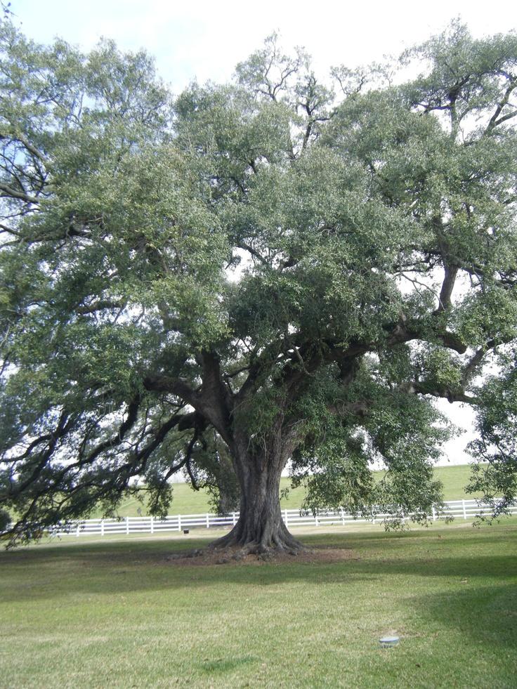 A beautiful old Oak on the Nottoway Plantation.: Oak Tree