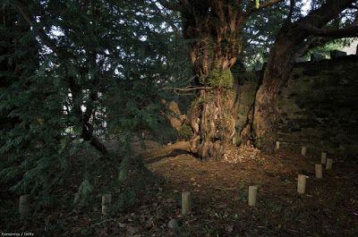 Nemet vált Európa legöregebb fája