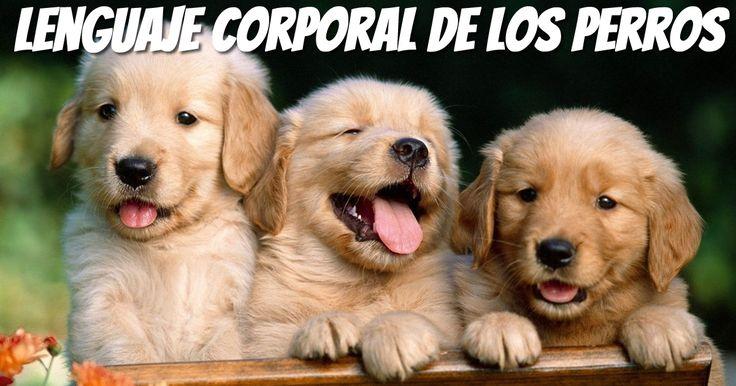 Conocer el significado del Lenguaje Corporal De Los Perros hará que el proceso de comprensión del comportamiento de tu perro sea más efectivo.